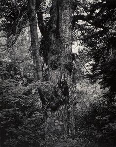 ansel adams - large cottonwood tree, washington, 1958.