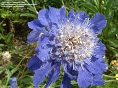 View picture of Pincushion Flower 'Fama' (Scabiosa caucasica) at Dave's Garden.  All pictures are contributed by our community.