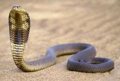 egyptian cobras | Pharaohs considered cobras to be a symbol of power and death and had ...