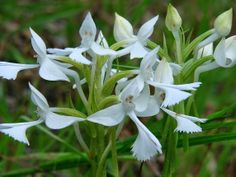 Dendrobium cuspidatum