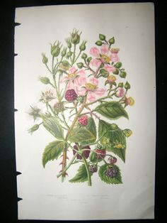 blackberry bramble tattoo - Google Search Blackberry Tattoo, Blackberry Bramble, Floral Tattoos, Scribble, Tattoo Ideas, Printables, Ink, Embroidery, Google Search