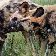Photo by @mattiasklumofficial A strategic suck-up to maintain position in the group...African wild dogs (or painted dogs) live in cooperative packs with a clear-cut dominance hierarchy in each sex. (Please go to @mattiasklumofficial to see a a Yoda-like fox with extraordinary ears! Reproduction among african wild dogs is largely monopolized by the dominant male and female. This beautiful apex predator is important in its ecosystem and needs to be respected and protected! Photographed this…