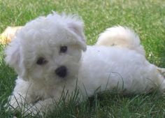 The Bichon Frise (meaning 'curly lap dog', also known as a 'Bichon Tenerife' or 'Bichon a Poil Frise', if you want to be fancy about it) descends from the Barbet, a Mediterranean breed. Description from tipoftheozarkspuppies.com.