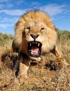 4aff5d91310 Charging Lion This magnificent picture of an angry lion in the Kalahari  desert
