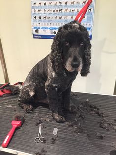 Benji in for a Xmas trim!