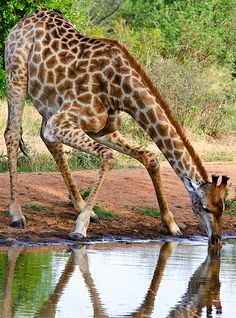 awkward drink - giraffe youngster bending in such a way as to be able to spring back up, getting its face away, should a predator come out of the water at it Animals And Pets, Baby Animals, Cute Animals, Wild Animals, Baby Giraffes, Giraffe Pictures, Animal Pictures, African Animals, African Safari
