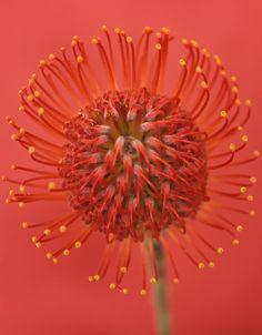 coral.quenalbertini: Coral color