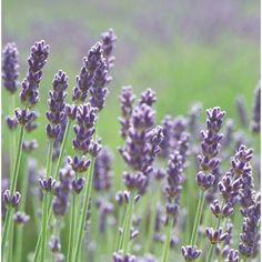 Hardy Perennials, Lavandula Angustifolia, Garden Edging, Plant Nursery, Green Garden, Hedges, Gardening Tips, Seeds, Plants