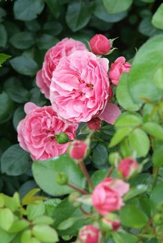 Rosa Gertrude Jekyll  (2).jpg goed te gebruiken als lage leiroos, heerlijk geurend. Staat bij Alie bij het terras.
