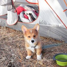 Gotta start them off early! #campingwithdogs @daphnetheadventuredog