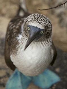 A Portrait of a Blue-Footed Booby by Tim Laman