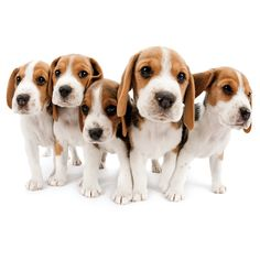 Are you interested in a Beagle? Well, the Beagle is one of the few popular dogs that will adapt much faster to any home. Cute Beagles, Cute Dogs, Types Of Beagles, Calm Dog Breeds, Baby Animals, Cute Animals, Dog Smells, Beagle Puppy, Mundo Animal