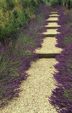 Tuinpad met lavendel-planten.