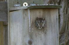 Build a Screech Owl Nest Box