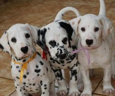 Omg I want the lemon spot puppy! Cute Baby Animals, Animals And Pets, Funny Animals, Mundo Animal, My Animal, Canis Lupus, Zee Dog, Cute Dogs And Puppies, Doggies