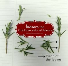 Herbal Medicine Pinch off the lower set of leaves Lemon Plant, Hanging Herbs, Hanging Planters, Propagation, Cuttings, Herbs For Health, Inside Plants, Herbs Indoors, Growing Seeds