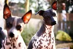 The distinct American Hairless Terrier breed began in 1972 when 1 hairless puppy named Josephine appeared in a Rat Terrier litter in the state of Louisiana, United states of america.