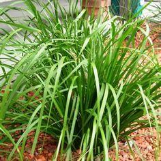Lomandra longifolia Better in dry soils and dry climates