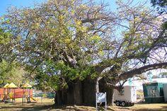 Thousand year old Baobab tree in #Barbados