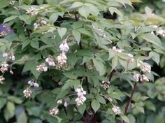 Staphylea bumalda-pimpernoot