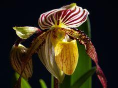Paphiopedilum philippinense var. laevigatum