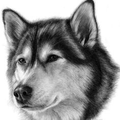 Secrets Of Drawing Most Realistic Pencil Portraits - - Alaskan Malamute. Cats and Dogs Featured in Pencil Portraits. By Susan Donley. Secrets Of Drawing Realistic Pencil Portraits - Discover The Secrets Of Drawing Realistic Pencil Portraits Graphite Art, Graphite Drawings, Drawing Sketches, Drawing Ideas, Animal Drawings, Pencil Drawings, Art Drawings, Realistic Drawings, Pencil Portrait