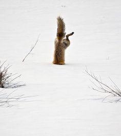 Une autre mention honorable dans la catégorie Nature revient à ce cliché de renard roux à la recherche d'une souris cachée sous un mètre de neige. La photographie a été réalisée par Michael Eastman