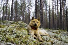 Finnish spitz by Jylppy on YouPic Rhodesian Ridgeback, Weimaraner, Vizsla, Spitz Puppy, Spitz Dogs, Spitz Breeds, 6d Canon, Thai Ridgeback, Gordon Setter