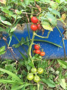 Tomates, El Campo es Leña, Adjuntas, Puerto Rico