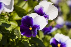 """One of our most popular panolas: the purple-and-white (with a hint of orange center) """"XP Beaconsfield"""" Orange Center, Spring Colors, Pansies, Popular, Purple, Rose, Flowers, Plants, Pink"""