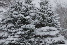 Love the snow on Pine Trees :-) Beautiful :-) Tammy Taylor-Kosiba's Photography 2012
