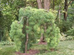 """Various weeping trees for my """"happy place"""""""