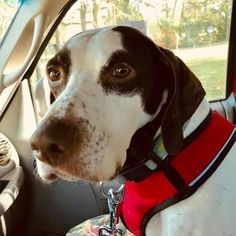 Kentucky, meet Doug! He hopes his forever home has a fancy self-driving car so he can sit behind the wheel instead of next to it. Doug gets along well with other dogs all he needs is a set of keys and you. 🐾🐾 Email pro_adoptions@yahoo.com to learn more and #AdoptPureLove . 🐾🐾 Awesome Dogs, Self Driving, Best Dogs, Kentucky, Keys, Adoption, Fancy, Pure Products, Car