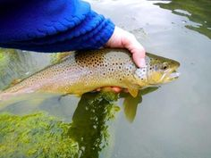Nice brown trout on the fly. Trout Fishing, Fly Fishing, Brown Trout, Blue Wings, Best Fishing, Something To Do, Colorado Rockies, Nice, Blog