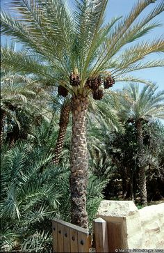 A date palm in the Al Ain oasis
