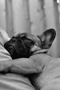Sweet Frenchie Snuggles