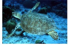 Marine Sea Turtles are great