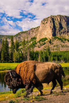 The American Bison is (Finally) Our New National Mammal Photos) - Suburban Men North American Animals, American Bison, Animal Bufalo, Nature Animals, Animals And Pets, Wildlife Photography, Animal Photography, Buffalo Pictures, Buffalo Animal