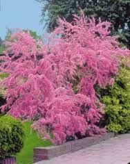 """Résultat de recherche d'images pour """"arbre japonais rose willemse"""""""