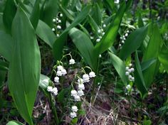 Kielo, Convallaria majalis - Kukkakasvit - LuontoPortti