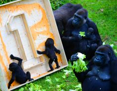 Two Gorilla twin babies curiously explore a birthday gift as they are watched by members of their family horde while 'celebrating' their first birthday in the Burgers' Zoo in Arnhem, The Netherlands, 13 June 2014. The mother has managed to keep her twin offspring alive for a full year, which is said to be the first time ever happening in an European zoo