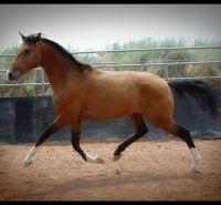 Lusitano stallion - this is the sire of the foal for sale.