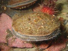 Adamussium colbecki scallop