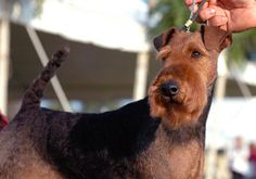 Welsh Terriers - dating back to 1450. One of the oldest, if the original Terrier!