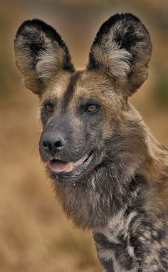 "the Lycaon pictus or ""painted wolf"", the scientific name of the African Wild Dog African Hunting Dog, African Wild Dog, Hunting Dogs, African Safari, Animals And Pets, Cute Animals, Wolf Hybrid, Photo Animaliere, Wild Dogs"