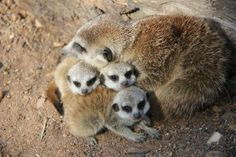Three baby meerkats cuddling with their mother.