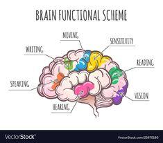 Human brain functional scheme vector image on VectorStock Single Image, Adobe Illustrator, Anatomy, Vector Free, Brain, Web Design, Pdf, Social Media, Tattoo