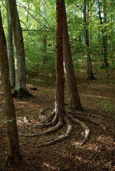 Pine whisk
