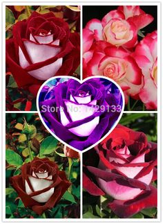 (Rose *Ambizu*) 2015 Hot Sale Rare Osiria Rose Seeds (Osiria MIX) - This fits your . Planting Seeds, Planting Flowers, Flower Plants, Rose Flowers, Cheap Landscaping Ideas, China Rose, Seeds Online, Rainbow Roses, Home Garden Plants