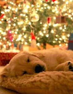all i want for christmas is this puppy